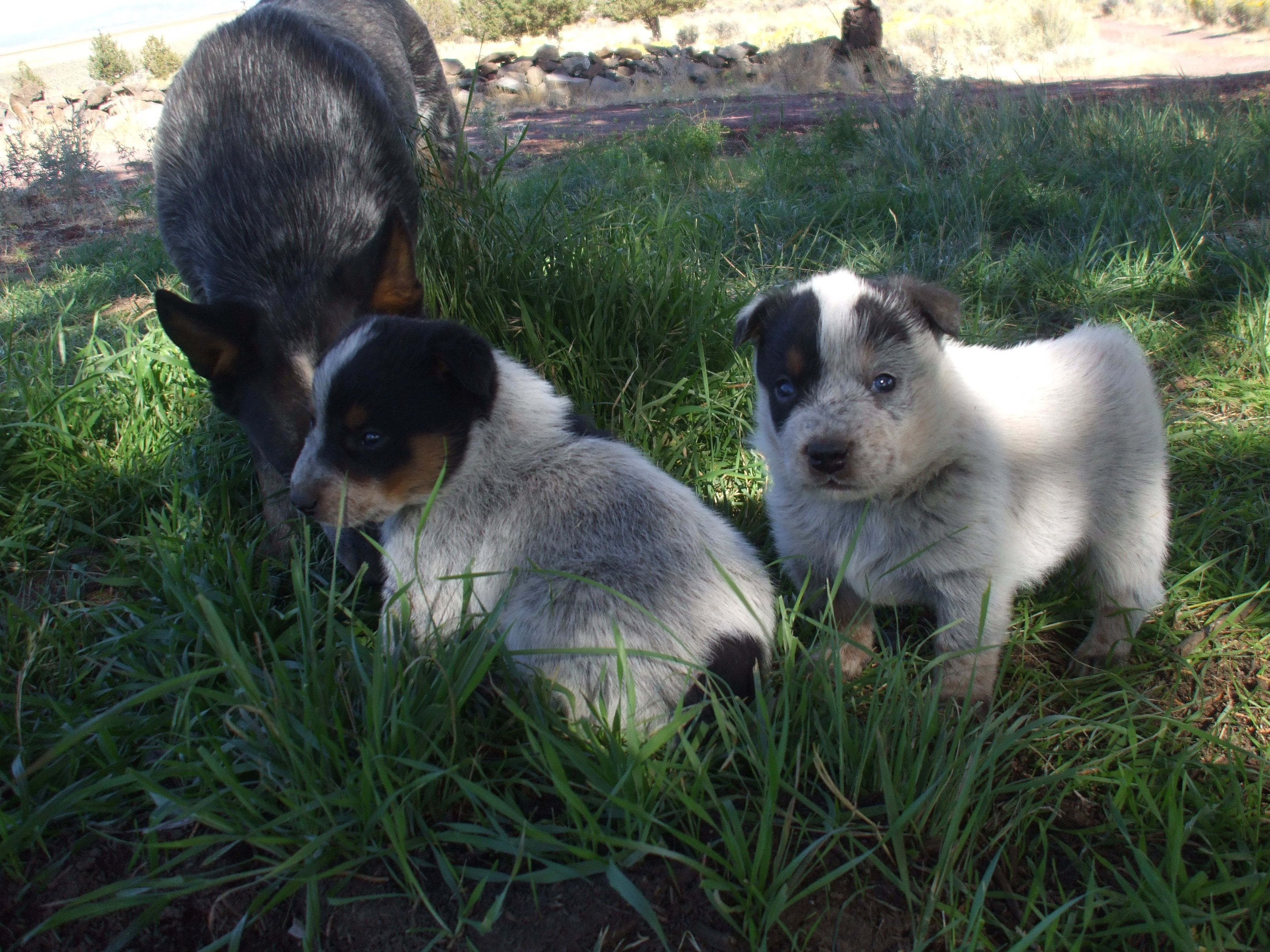 Our Current Puppies Cattle Dogs Rule Michael And Gabriel Thanks For Looking And Your Likes God Bless Luke 1 9 26 Cattle Dogs Rule Cattle Dog Herding Dogs