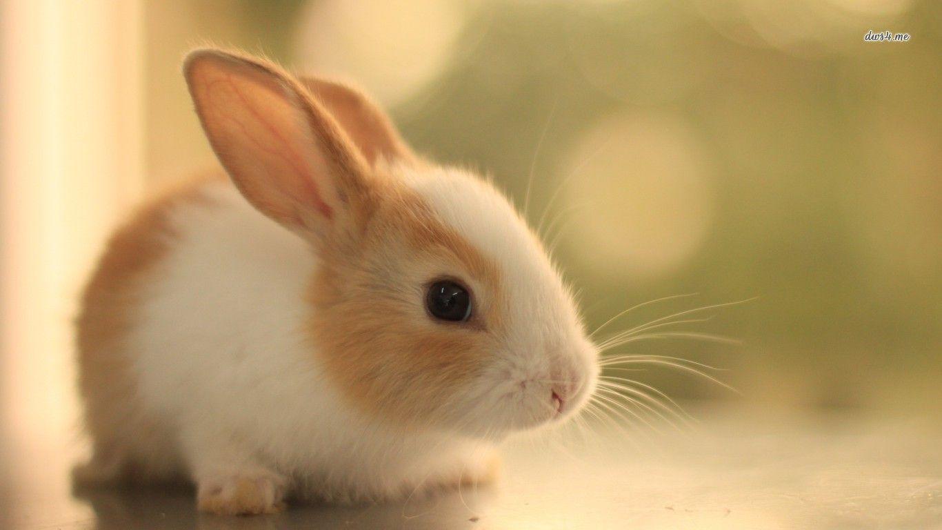 Un b b lapin blanc et roux quand j ai le temps - Photo de lapin mignon ...