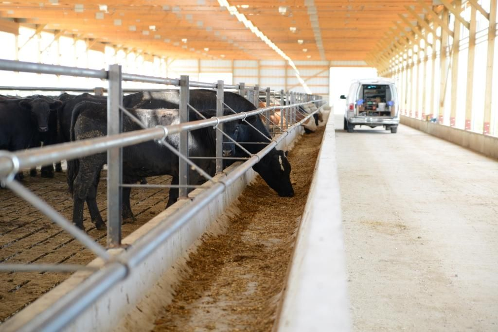 Feed Alley In Slatted Floor Confinement Cattle Housing Cattle Ranching Farm Buildings