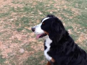 Heidi Is An Adoptable Bernese Mountain Dog Dog In Scottsdale Az