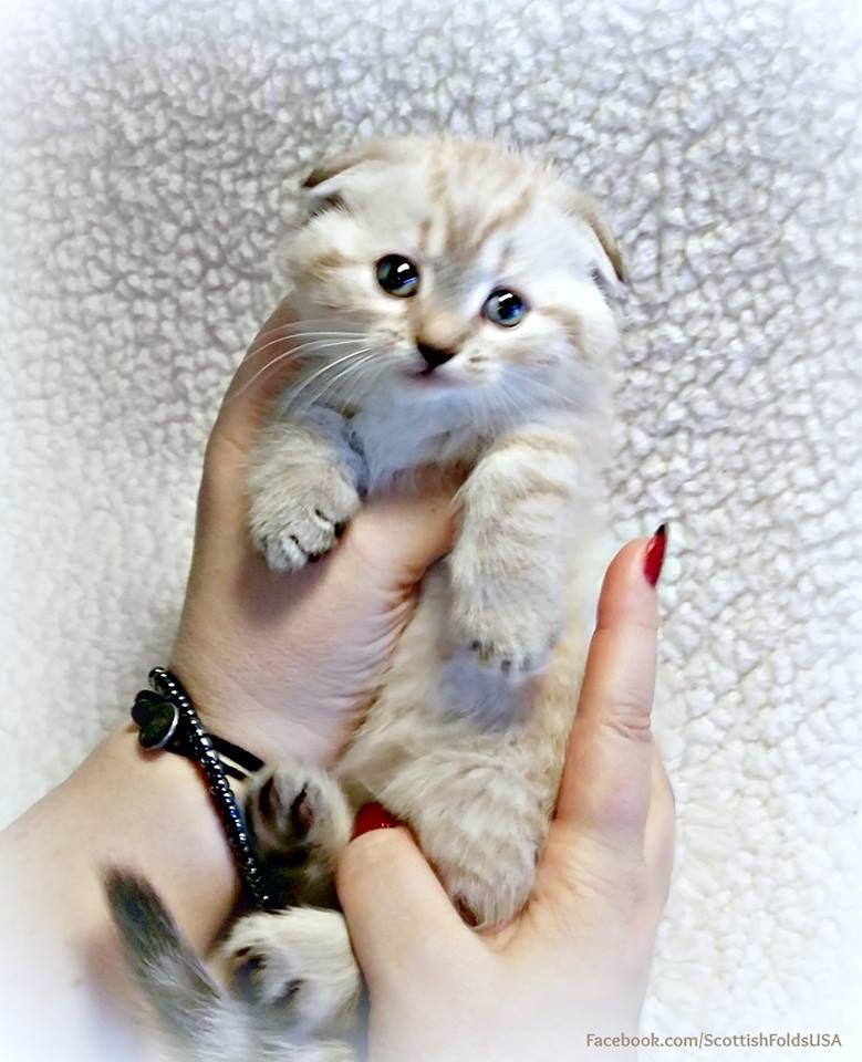 Scottish Fold Munchkin Cat Scottish Kilt Cat Who Wouldn T Love A