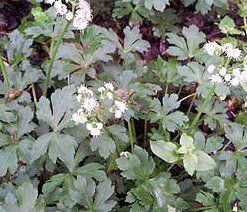 Image result for y Sanicle (Sanicula europaea).