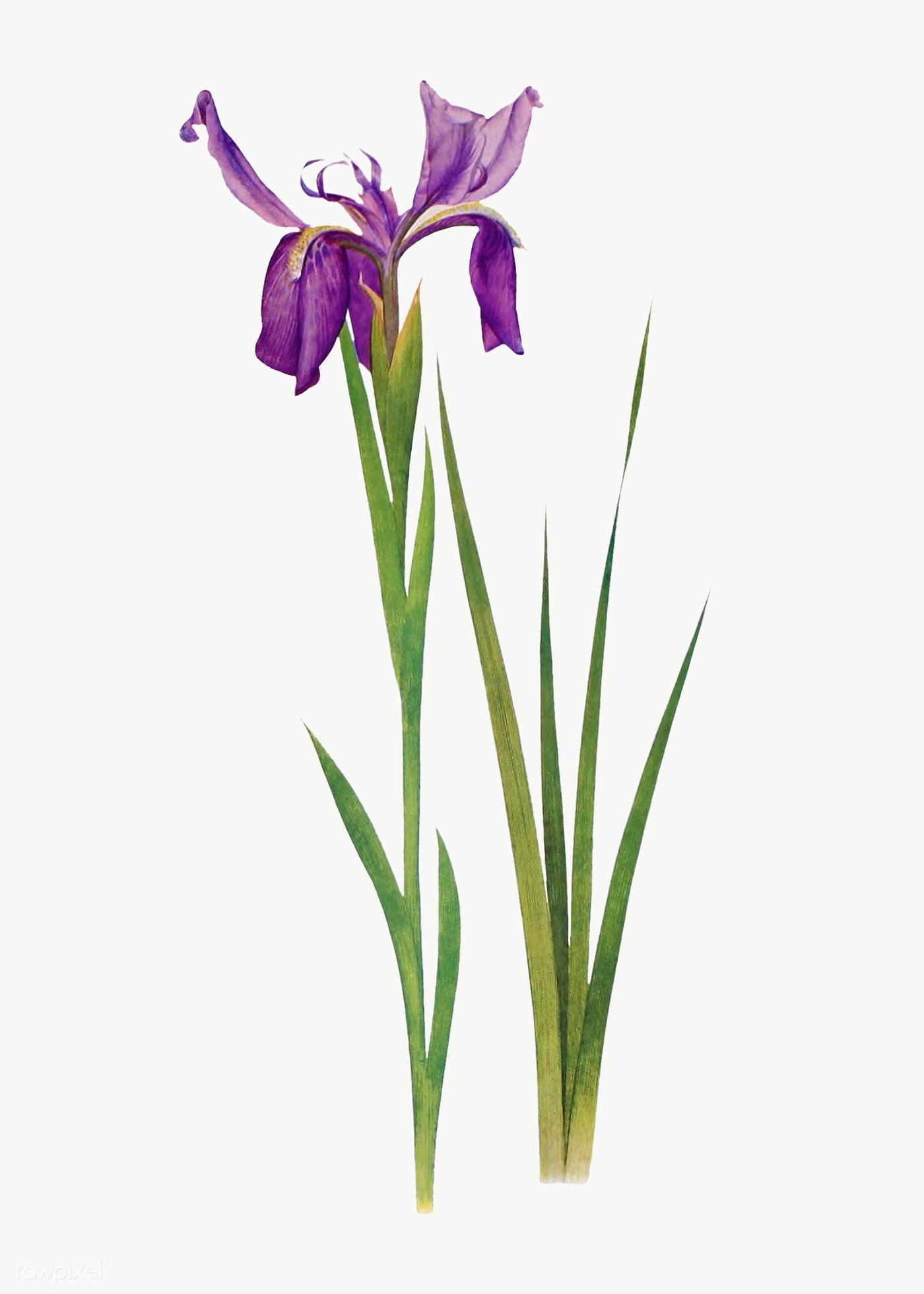 Download Premium Png Of Vintage Iris Flower Illustration Transparent Png In 2020 Flower Illustration Iris Flowers Flower Drawing