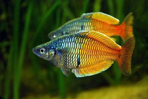 beautiful fresh water tropical fish