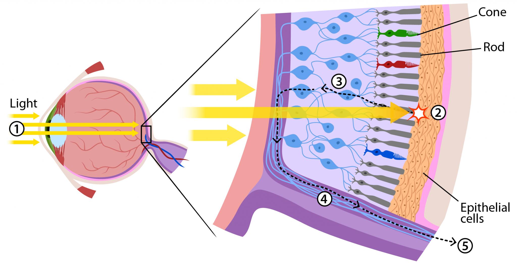 Retina Rod Cone