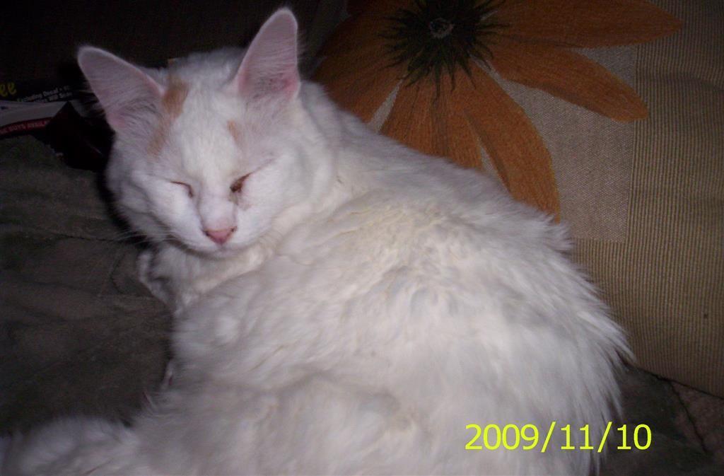 Lost Cat Domestic Medium Hair New London Ct United States