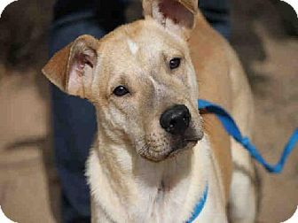 AMOS...ATLANTA, GA...Atlanta, GA - German Shepherd Dog Mix. Meet AMOS a Dog for Adoption.