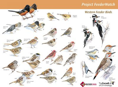 Free Identification Poster Downloads Of North American Birds By Region