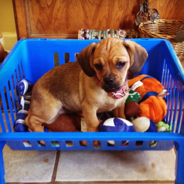 Pug And Dachshund Mix Doug Puggle Puppies Puppies Dachshund Mix