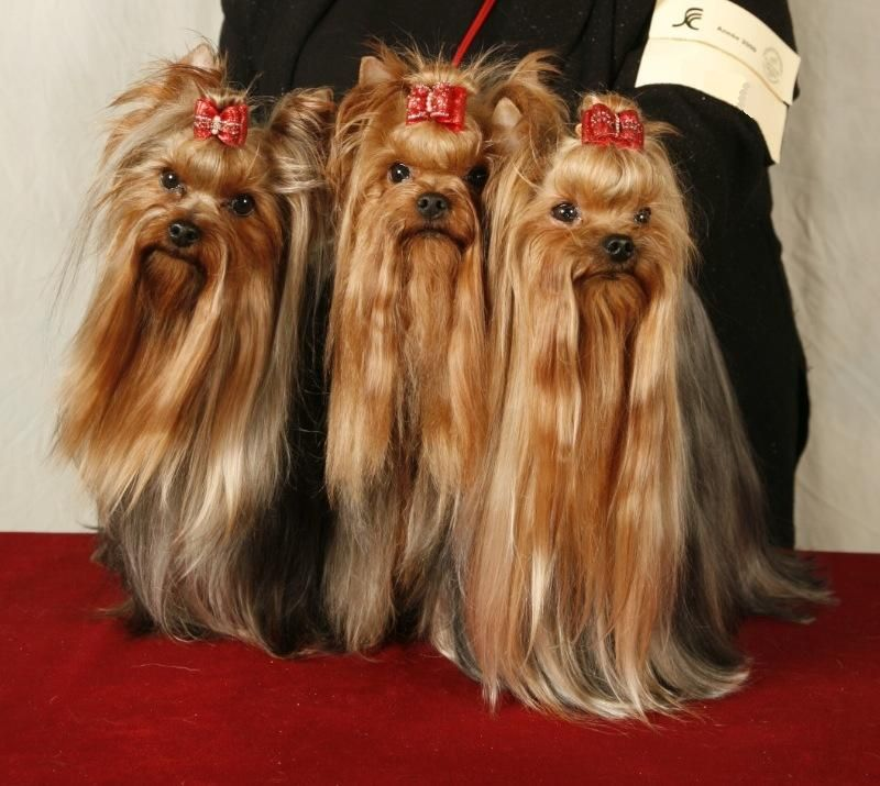 Yorkies Omg They Look Like Cousin It From The Addams Family