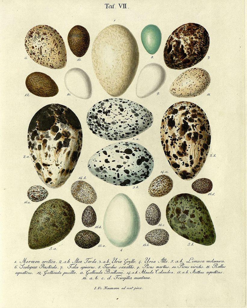 Znalezione obrazy dla zapytania egg vintage illustration