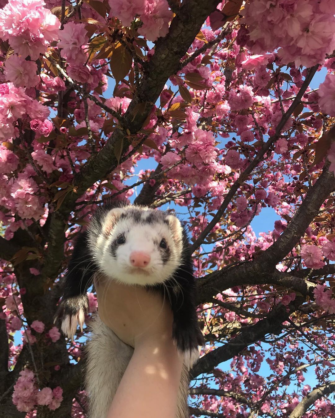 Racer Has That Pink Flower Aesthetic Cute Ferrets Animals Beautiful Cute Animals