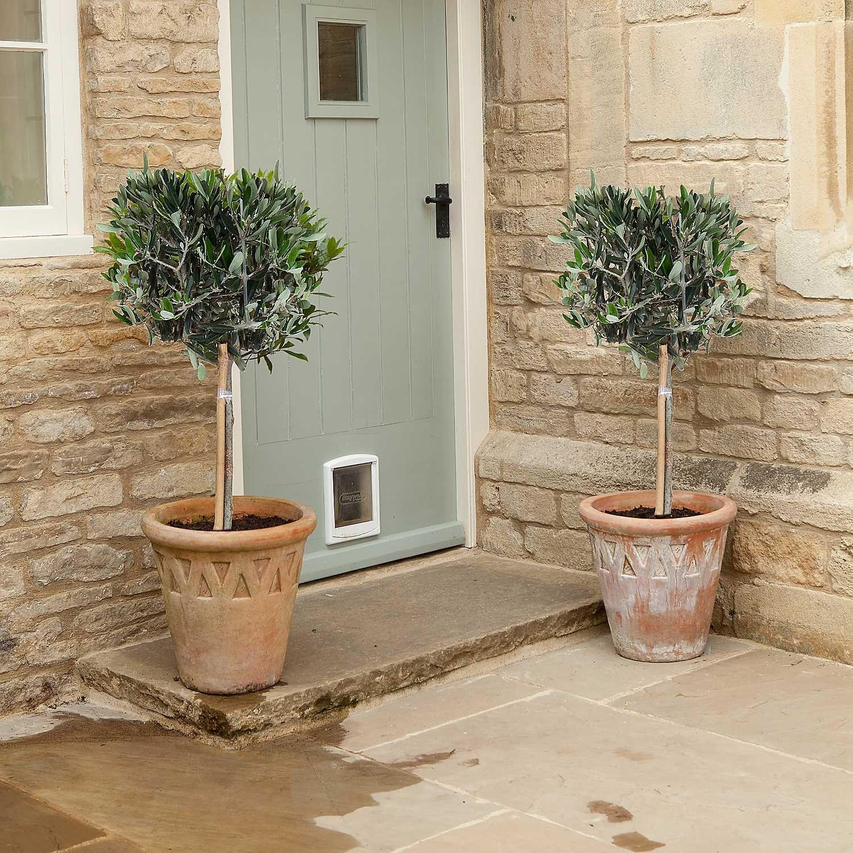 Pair of Standard Mini Olive Trees | plants for terrace | Pinterest ...
