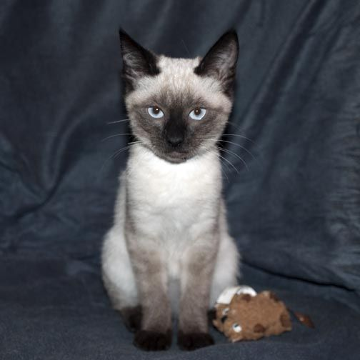 Luce Lucy 4 Months Old Seal Kitten At Pacific Siamese Rescue Very Friendly And Chatty Fostered In Livermore Adopte Foster Cat Siamese Rescue Siamese