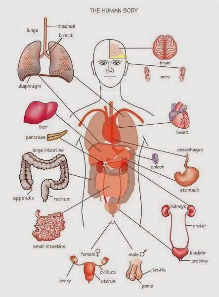 Human Anatomy and Physiology Diagrams: Human Body Parts ...