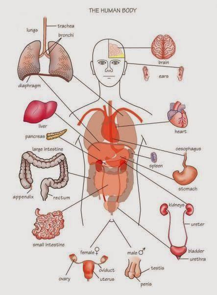Human Anatomy and Physiology Diagrams: Human Body Parts