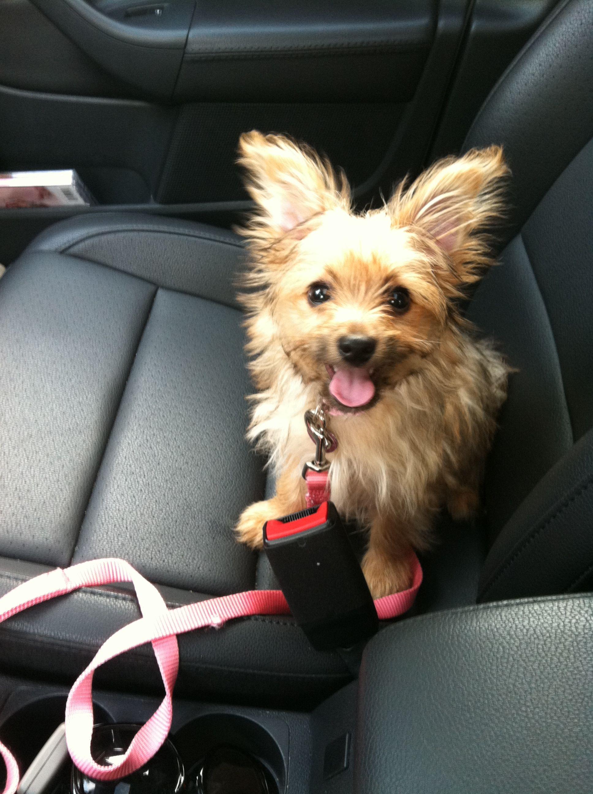 Summer my Chorkie last year loving the car! Cute dogs