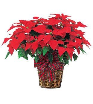 Poinsettia A Traditional Christmas Plant Christmas Plants Flower Delivery Christmas Flowers