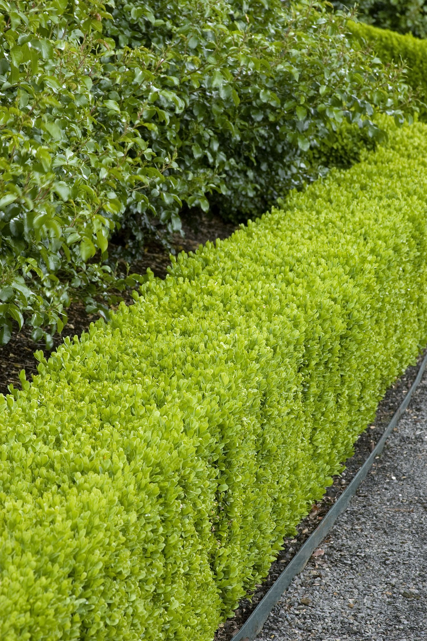 Best shrubs for full sun and privacy - Arborvitae And Lavender Excellent Color But The More Perennials The Better To Extend The Bloom Period Outdoors Decor Pinterest Perennials