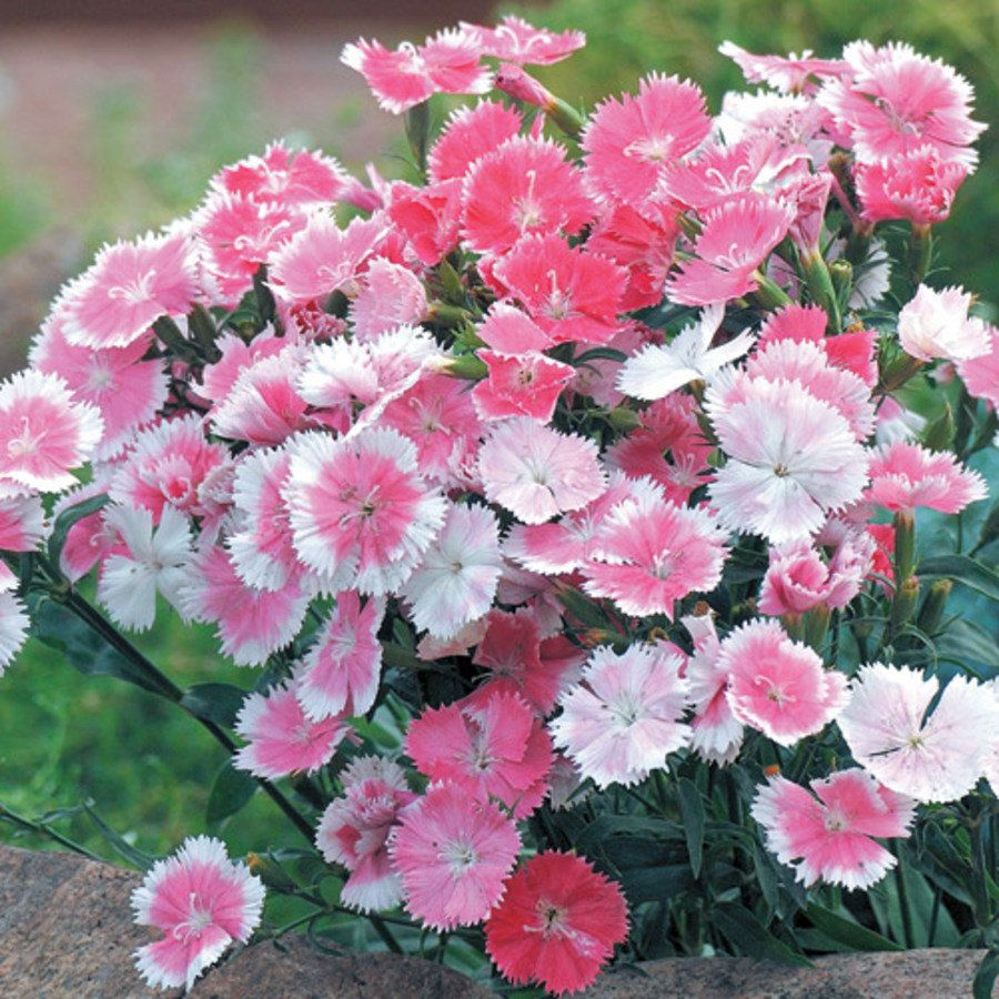 Dulce White To Pink Dianthus Chinesis China Pink Flower Seeds