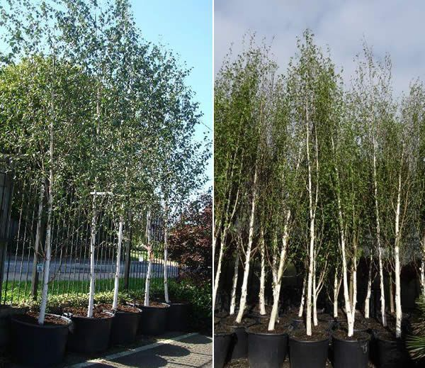 birch tree muslim singles We offer affordable bare root paper birch trees and many other birch trees shipped at the right time for planting.