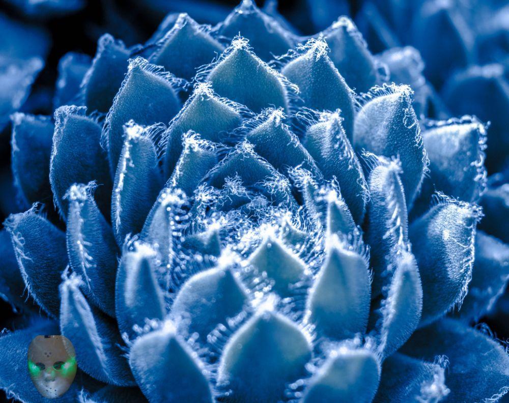 Blue Sedum by Llightpimp - akadodjer