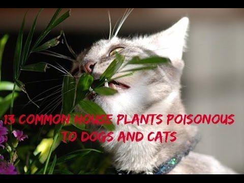poisonous plants for cats don t let your cat eat these toxic plants amazing. Black Bedroom Furniture Sets. Home Design Ideas