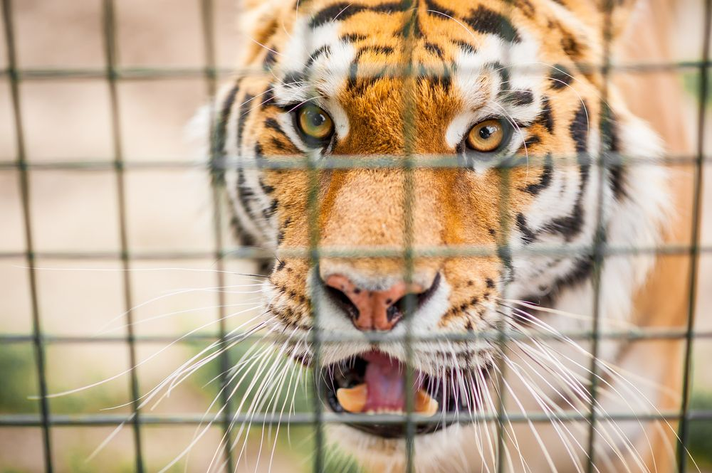 """Man Formerly Known as """"The Tiger King"""" Going to Prison in"""