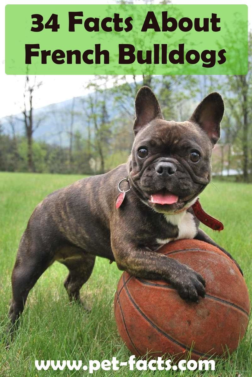 34 Facts About French Bulldogs Frenchbulldogfullgrown Bulldog