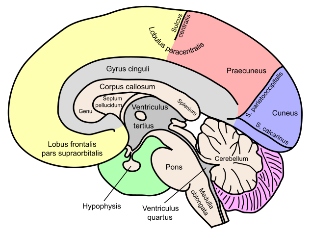 Image Result For Corpus Callosum Now Pinterest Brain Adhd And