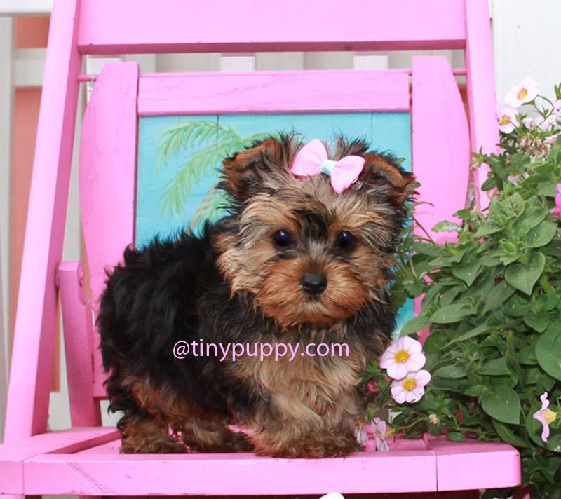 Teacup Yorkie Puppy For Sale In California Teacup Yorkie Puppy Teacup Yorkie For Sale Puppies For Sale