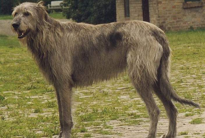 10 Largest Dog Breeds In The World With Images Irish Wolfhound
