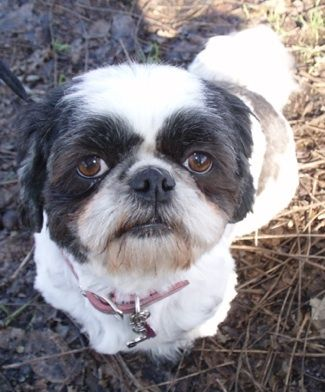 Shih Tzu Information And Pictures Shih Tzus Shih Tzu Dog Shih Tzu Haircuts Shih Tzu