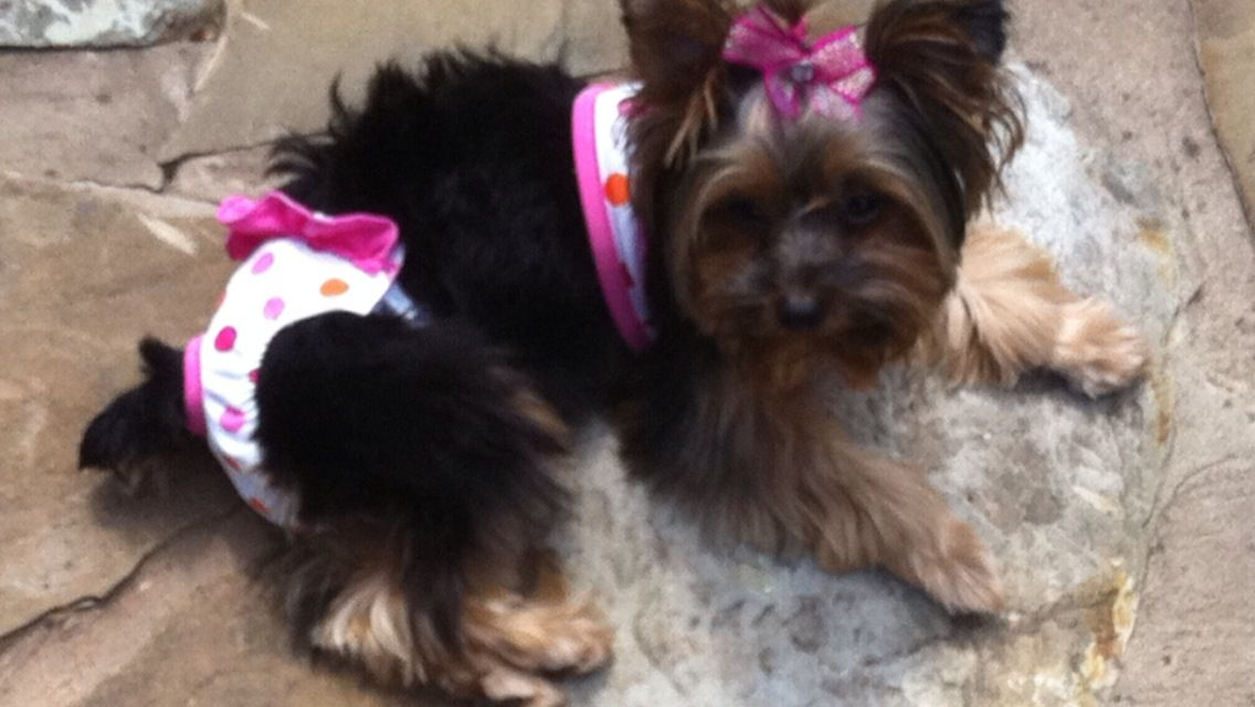 Laying Out Yorkie Swimsuit With Images Yorkie Puppies Cute
