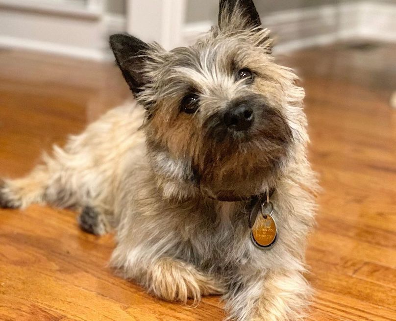 Cairn Terrier Breed Information Guide Quirks Pictures