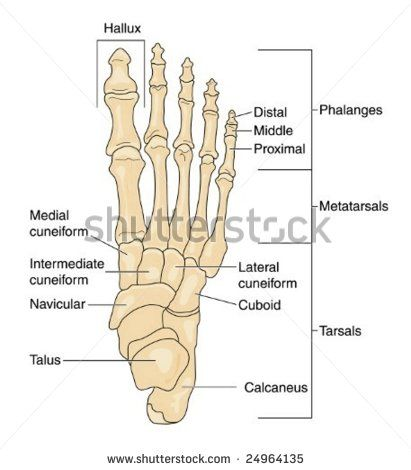 Human Skeleton Feet Yahoo Image Search Results Fall Crafting