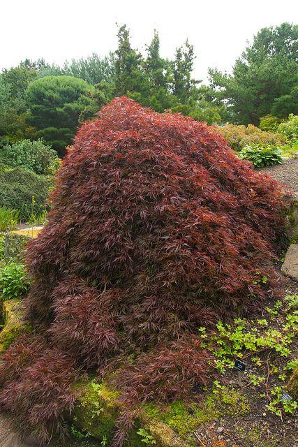 Japanese Maple, Edinburgh And Scotland