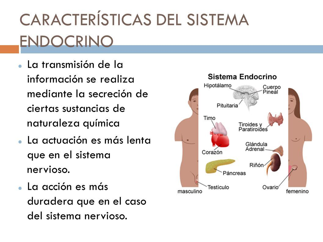 Resultado de imagen de sistema endocrino | ESTUDIANDO DIETETICA Y ...