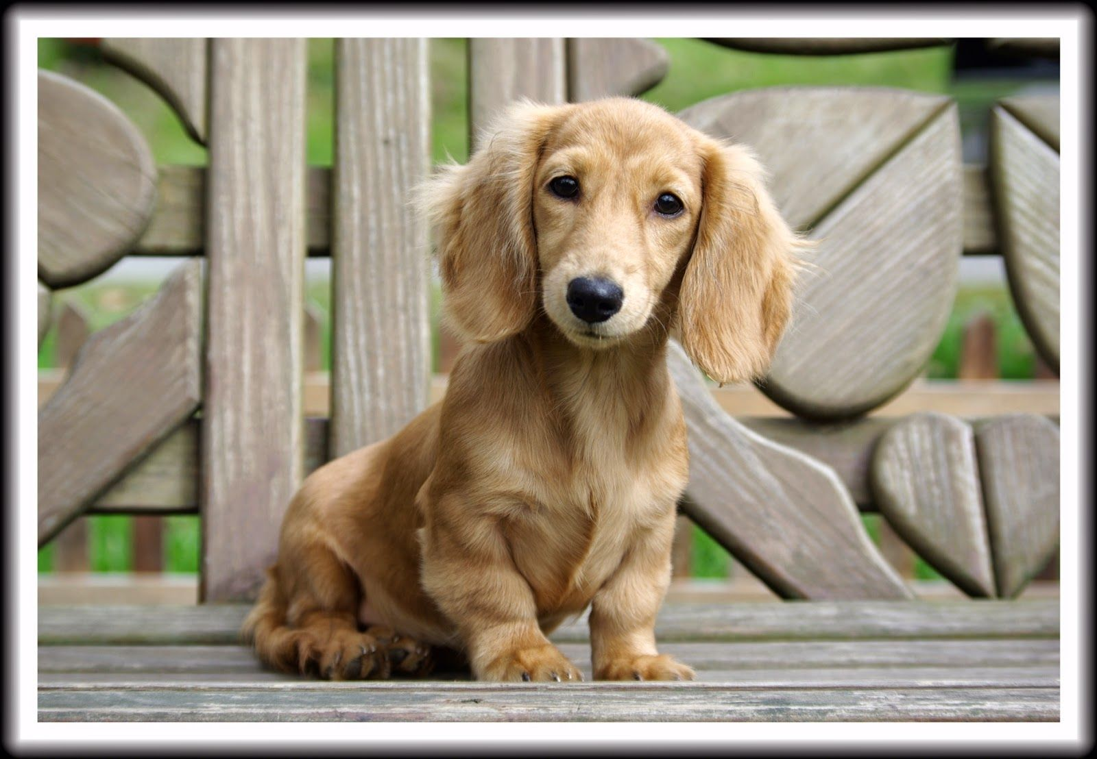 English Cream Long Haired Miniature Dachshund English Cream