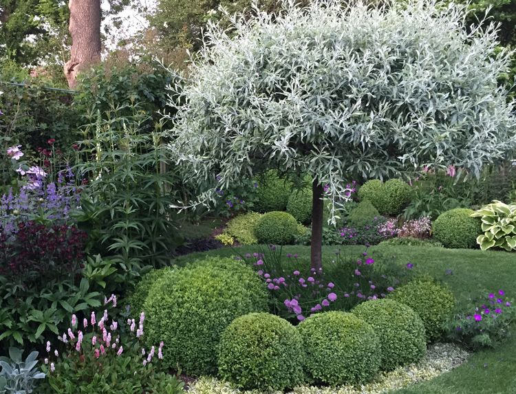 Clay Soil   Silver Pear Tree   Caroline Benedict Smith Garden Design  Cheshire