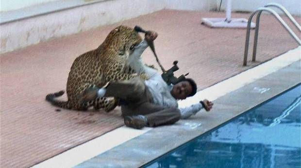 http://filmywar.com/leopard-that-entered-bengaluru-school-escaped-from-zoo-and-injured-five-people/