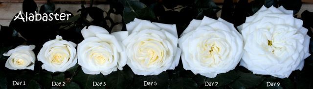 White Garden Rose Alabaster In All Its Blooming Points Rose