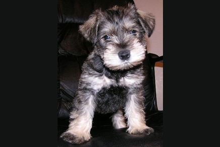 A Jack Russell Terrier Mixed With A Miniature Schnauzer Makes A Jack Schnauzer Adorable Puppies For Sale Mini Schnauzer Puppies Puppies