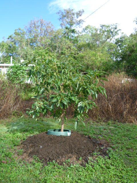 Forum Wurtz Avocado Pictures Of Avocado Trees And