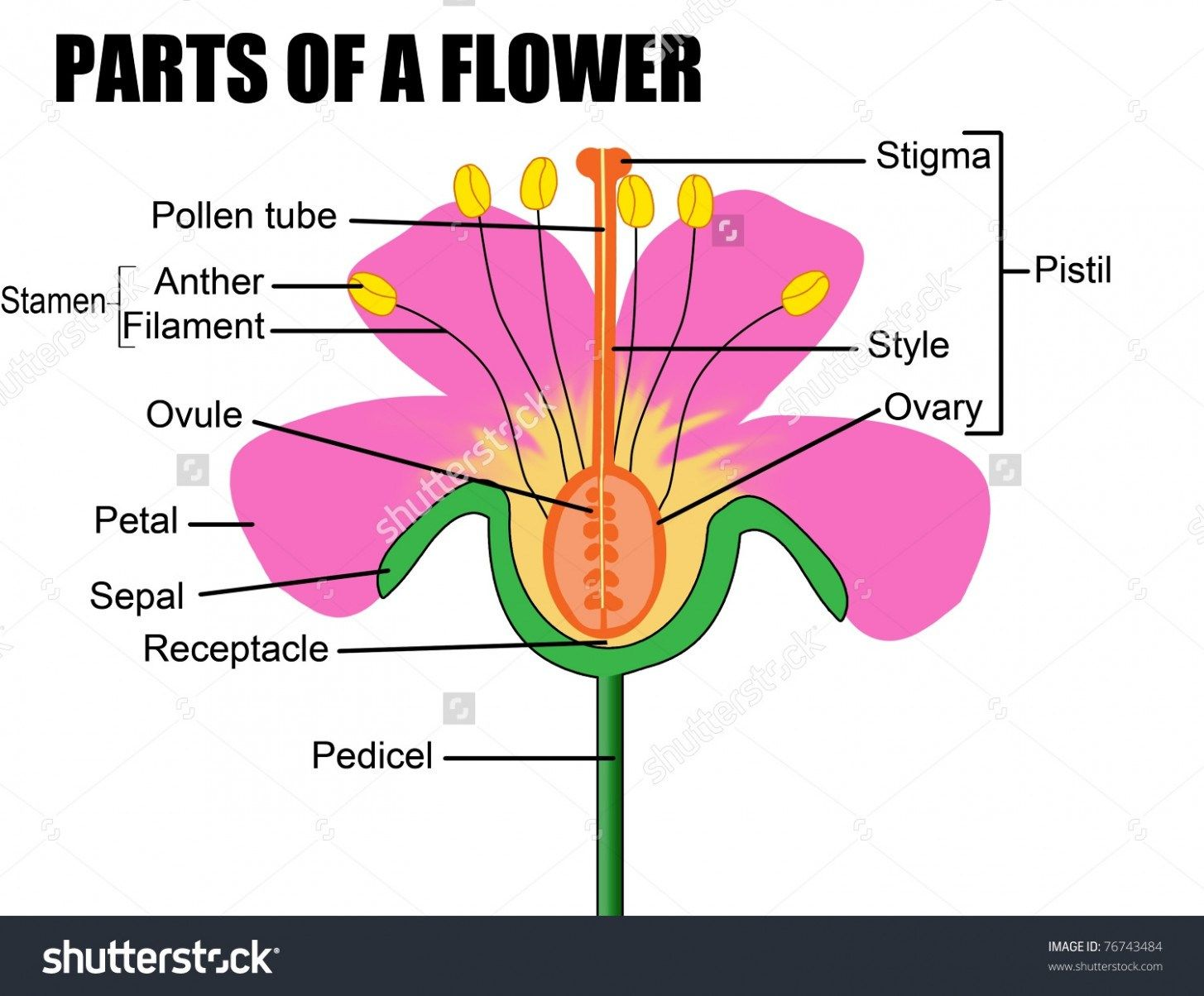 Ten Things You Didnt Know About Female Flower Reproductive Organ Female Flower Reproductive Organ Https Parts Of A Flower Diagram Of A Flower Flower Science