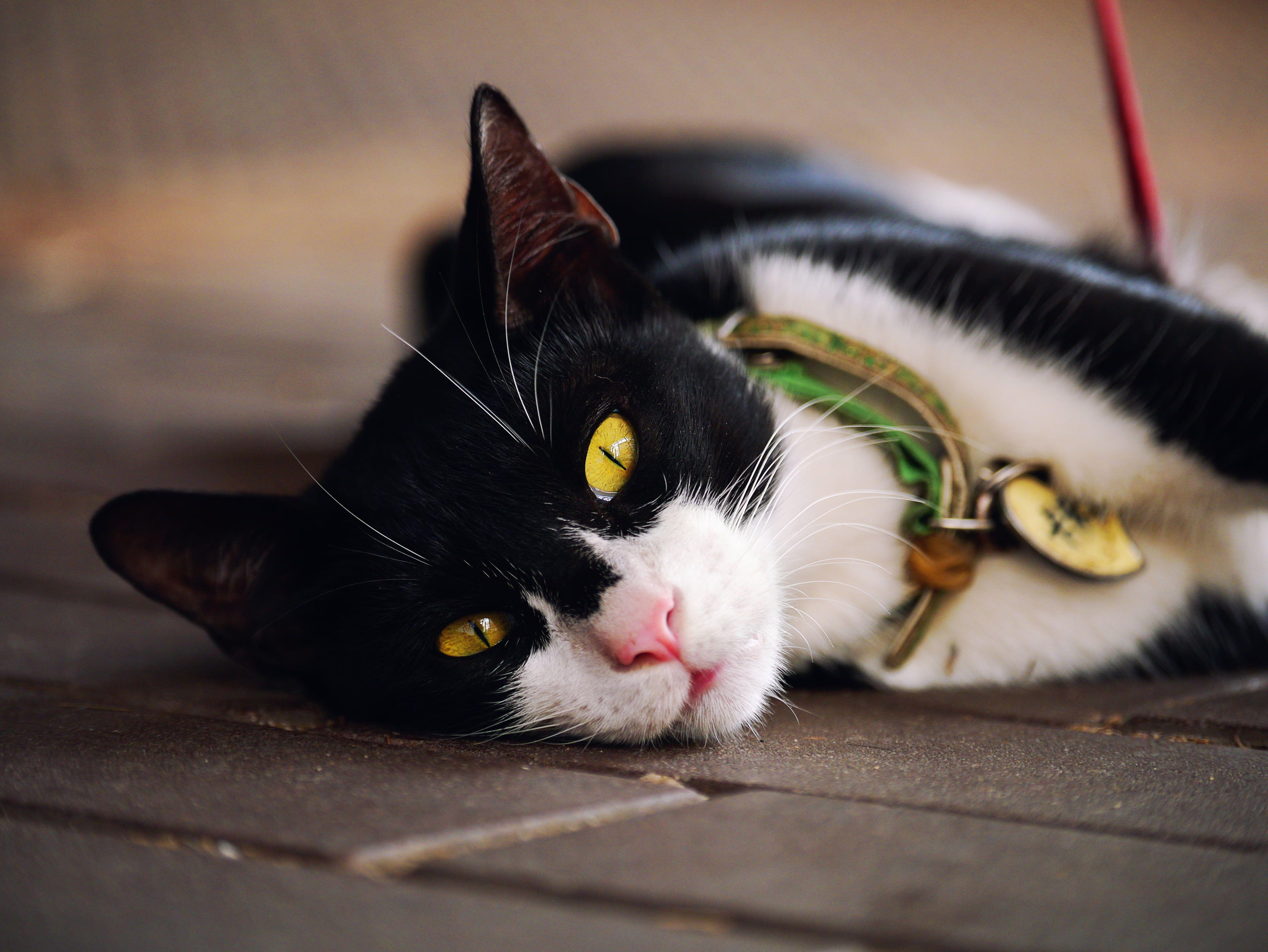 Black And White Fur Cat Lying On Floor Black And White Fur Cat Floor Gx1 Lumix Panasonic Domestic Ca In 2020 Grey Tabby Cats Silver Tabby Cat Silver Tabby Kitten