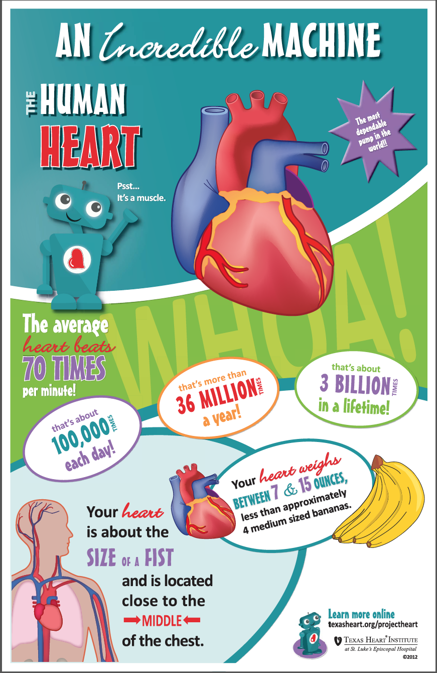 Fun facts for kids about the human heart, an incredible machine in ...