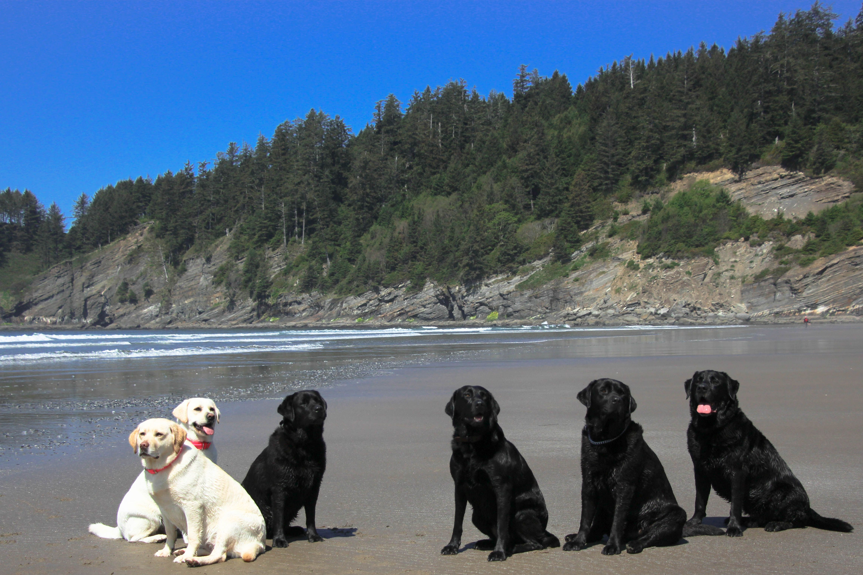 Hiking falcon point on the Oregon Coast! Labrador