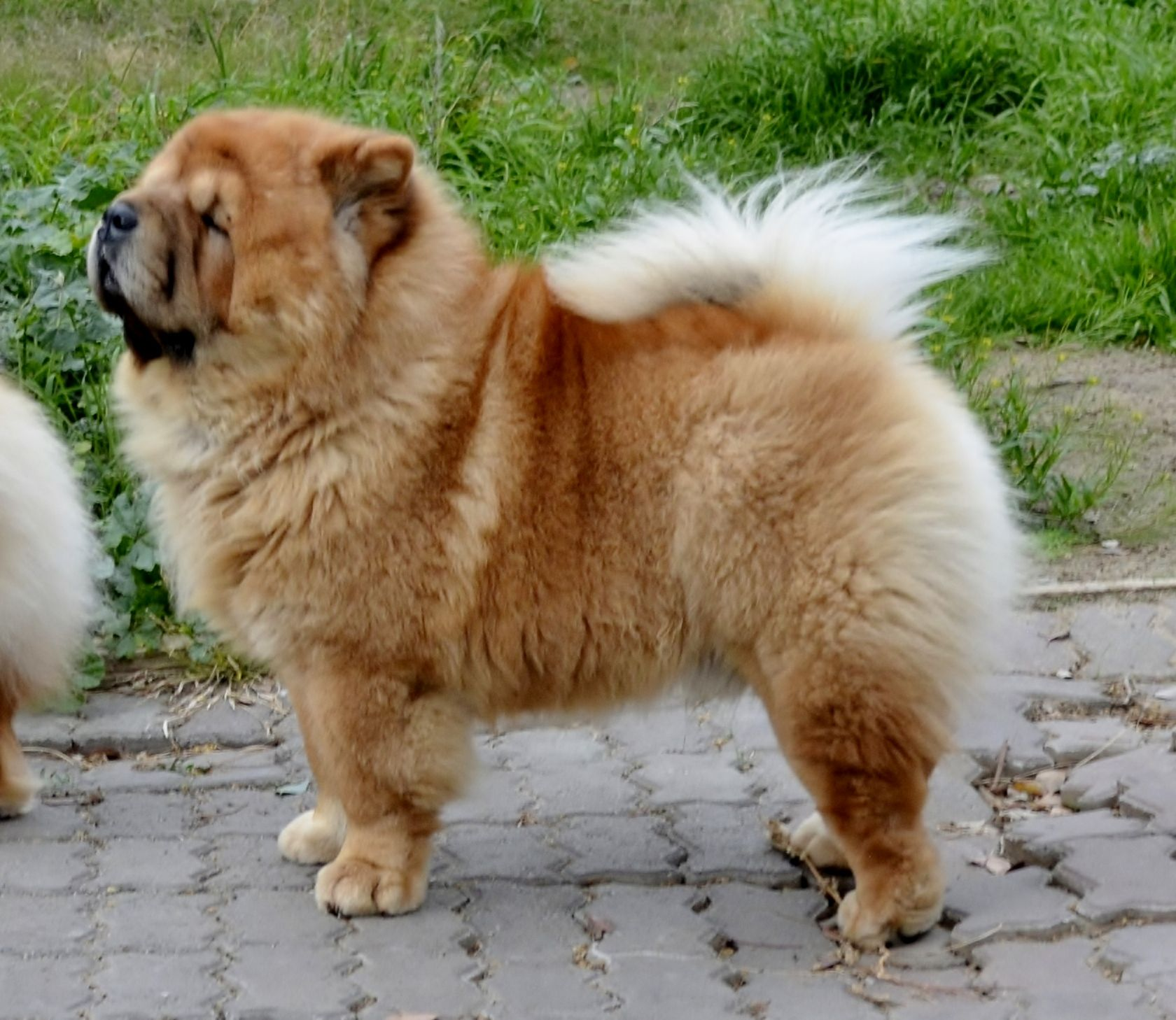 Monty At 4 Years Of Age With Images Chow Chow Dogs Dogs Best