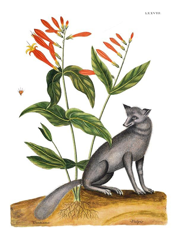 Mark Catesby, Gray Fox with Gentian (vulpis and gentiana). Natural History of Carolina, Florida and The Bahama Islands. 1731.